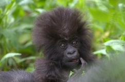 65989-Baby-Gorilla
